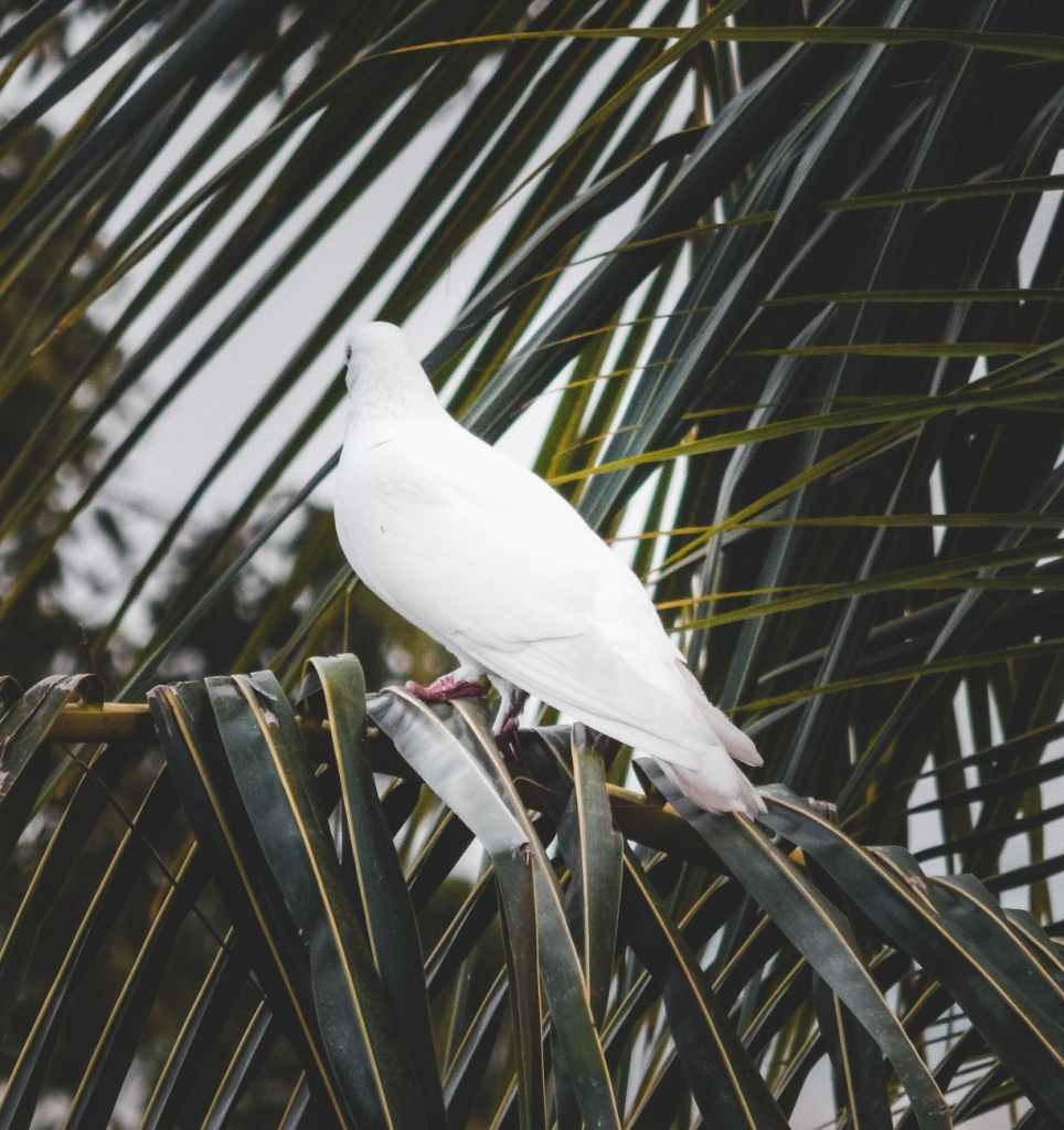 dove nestled on palm branches