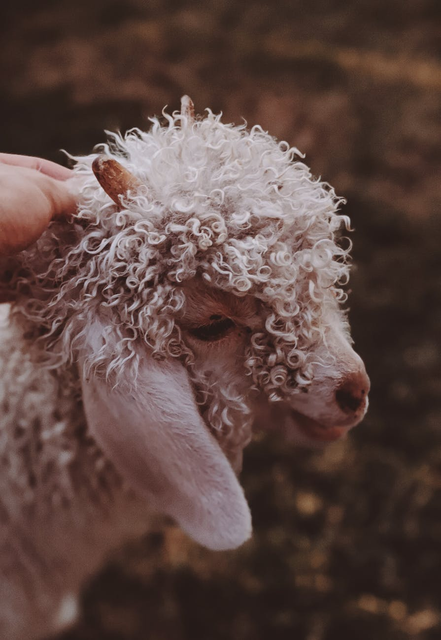 curly haired white lamb
